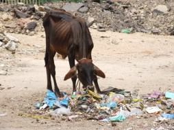 vacca-indiana
