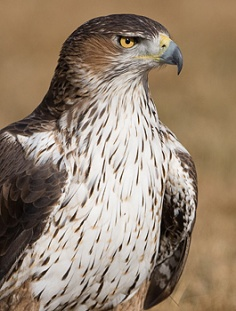 bonellis_eagle.jpg